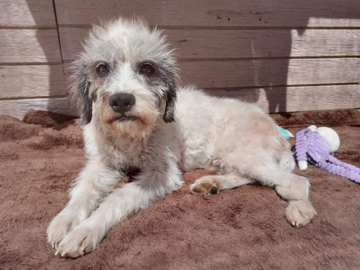 Oggy, an adopted Schnauzer & Terrier Mix in San Diego, CA_image-4