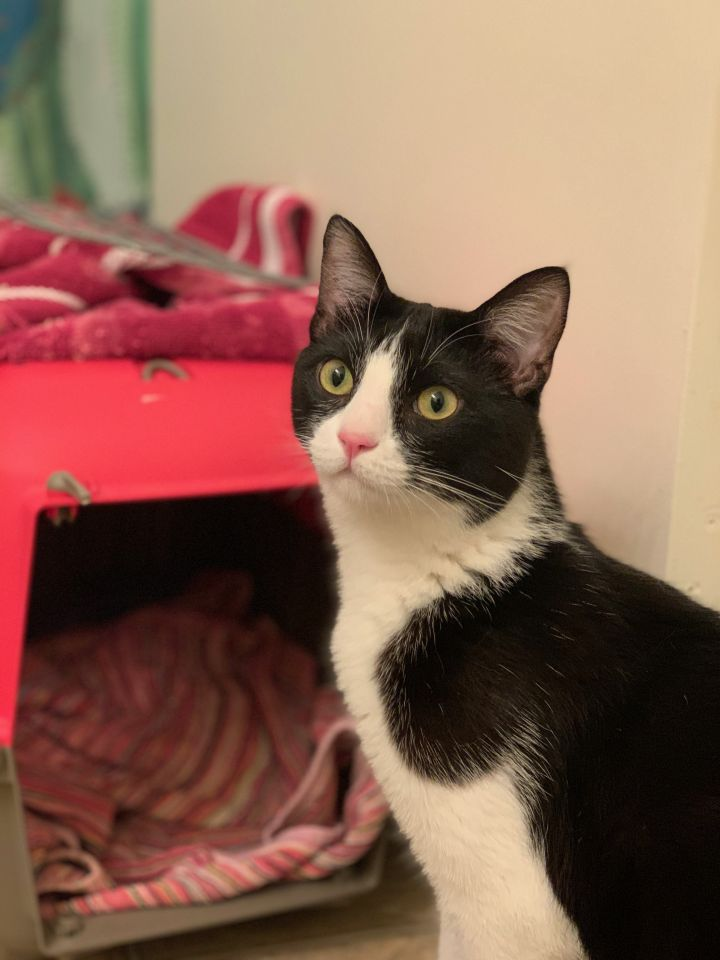 Boyo, an adoptable Domestic Short Hair & Tuxedo Mix in Los Angeles, CA_image-3