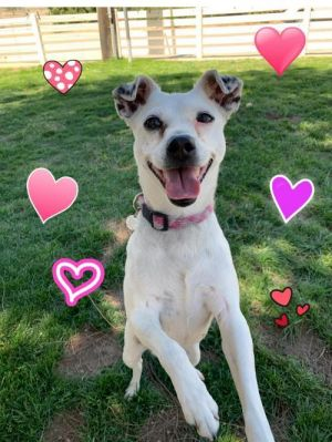 Dottie Jack Russell Terrier Dog