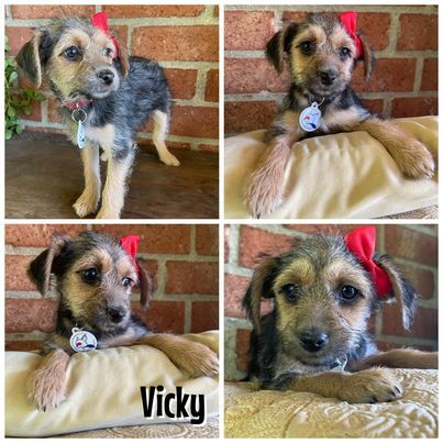 Vicky, an adoptable Yorkshire Terrier & Chihuahua Mix in Glendora, CA_image-2