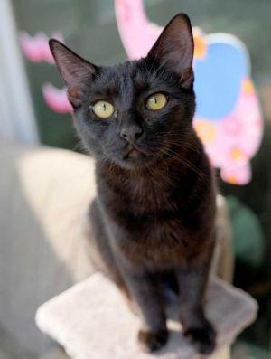 Cheeks Domestic Short Hair Cat