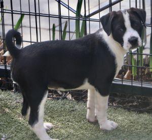 Garbo Labrador Retriever Dog