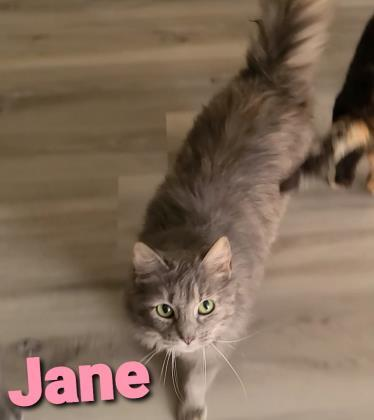 Jane, an adoptable Domestic Medium Hair & Domestic Short Hair Mix in Cumberland, MD_image-1