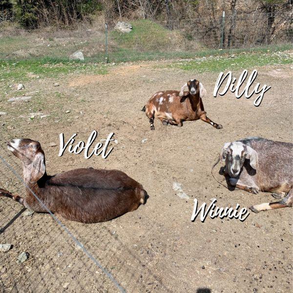 Dilly, Violet, & Winnie