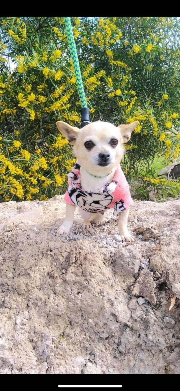 Lili, an adopted Chihuahua Mix in San Diego, CA_image-1