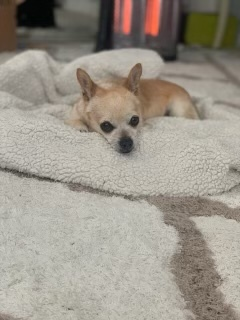 Lili, an adopted Chihuahua Mix in San Diego, CA_image-2