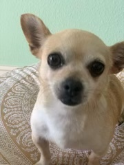 Lili, an adopted Chihuahua Mix in San Diego, CA_image-4