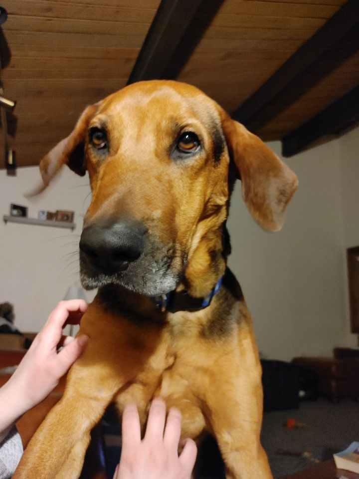 Andy, an adoptable Coonhound & German Shepherd Dog Mix in Cincinnati, OH_image-1