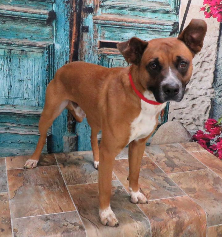 Kennedy, an adoptable Pit Bull Terrier Mix in Lexington, VA_image-2