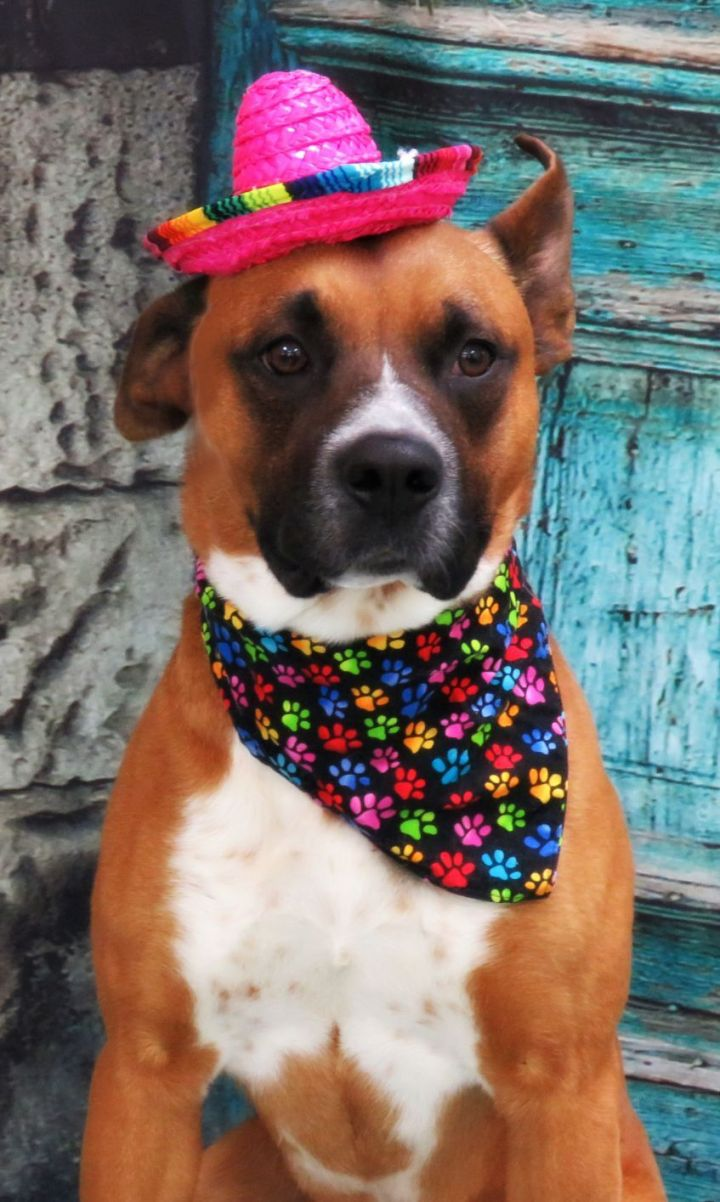 Kennedy, an adoptable Pit Bull Terrier Mix in Lexington, VA_image-4