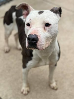 Moo Moo A225904 Moo Moo is a 3 year old female who came into the shelter on 329 as an