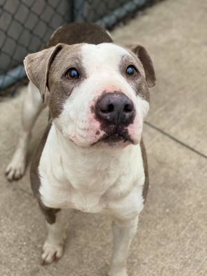 Lechita A225905 Lechita is a 3 year old female who came into the shelter on 329 as an owner surrend