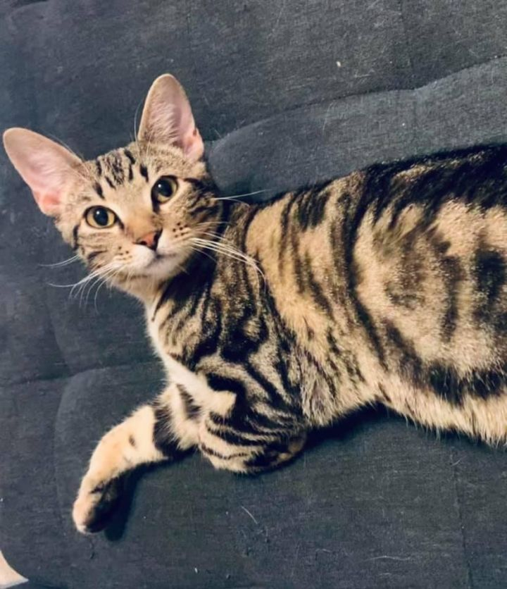 Manwich, an adopted Domestic Short Hair Mix in Springfield, MO_image-1