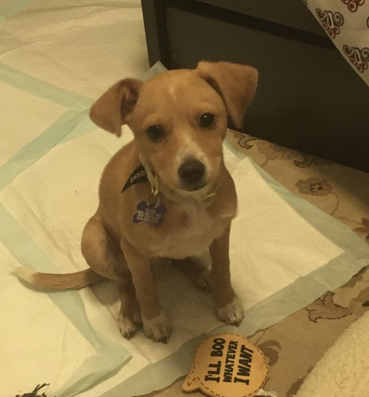 Claude, an adopted Chihuahua & Terrier Mix in San Diego, CA_image-2