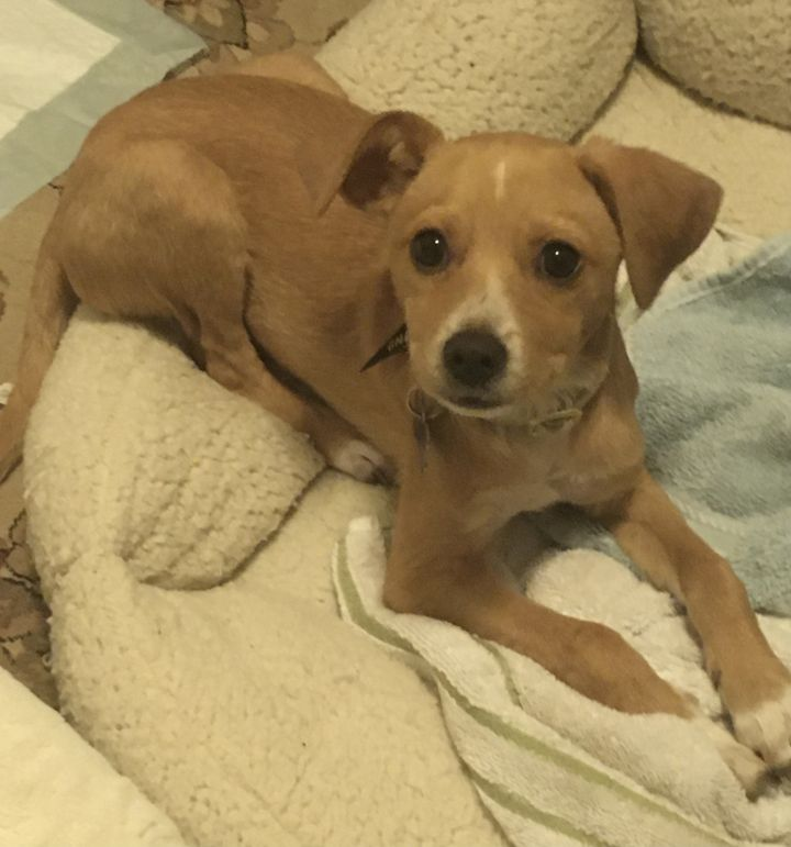 Claude, an adopted Chihuahua & Terrier Mix in San Diego, CA_image-1