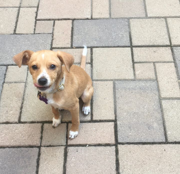 Claude, an adopted Chihuahua & Terrier Mix in San Diego, CA_image-3