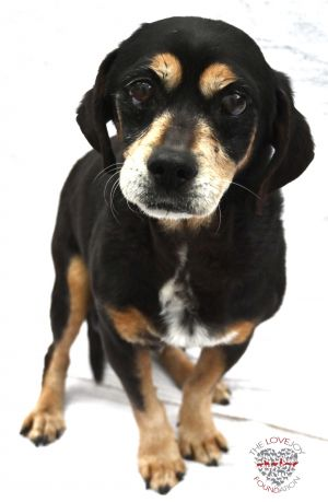 Hi meet Theo Theo is a lovable 12 year old Chihuahua and Dachshund mix He is very curious and enjoy