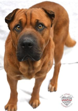 Hi meet Ryder Ryder is a lovable 4 year old Shar-Pei mix He is super sweet playful and affectiona
