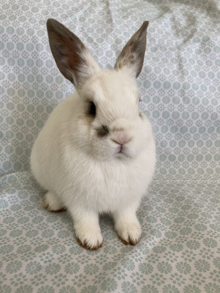 Aioli, an adopted English Spot & Mini Rex Mix in Livermore, CA_image-2