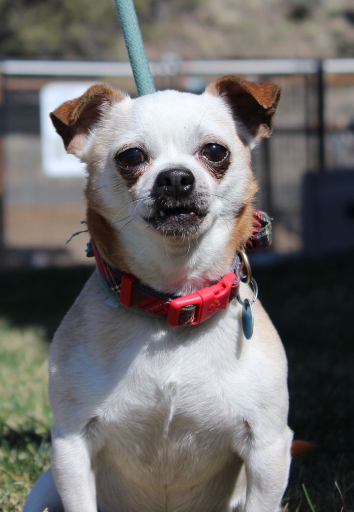 Weebles, an adoptable Chihuahua Mix in Madras, OR_image-1