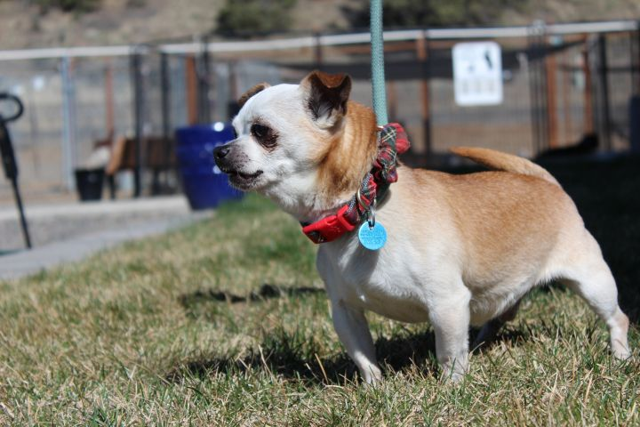 Weebles, an adoptable Chihuahua Mix in Madras, OR_image-2