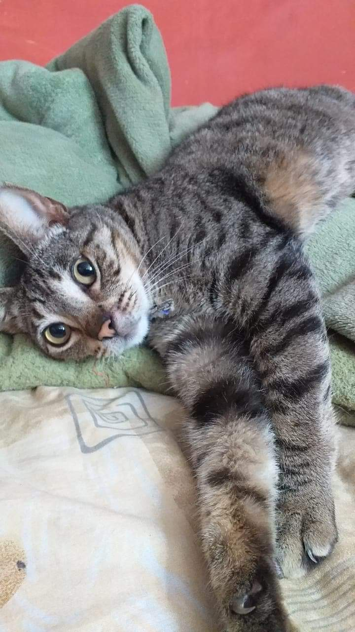 Oliver, an adoptable Tabby Mix in Mission Viejo, CA_image-1