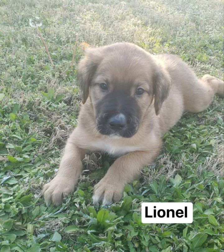 Lionel, an adopted Collie & Labrador Retriever Mix in Hatfield, PA_image-2