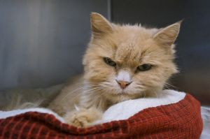 Bodacious is an 8 year old spayed long-haired orange tabby She was found as a stray caught in th