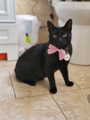 Sabrina Domestic Short Hair Cat