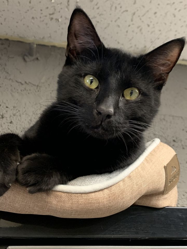 Poe, an adopted Domestic Short Hair in Butler, NJ_image-2