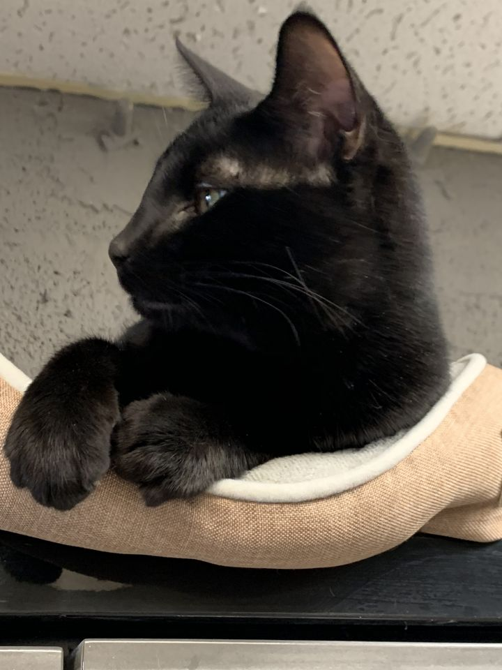 Poe, an adopted Domestic Short Hair in Butler, NJ_image-3