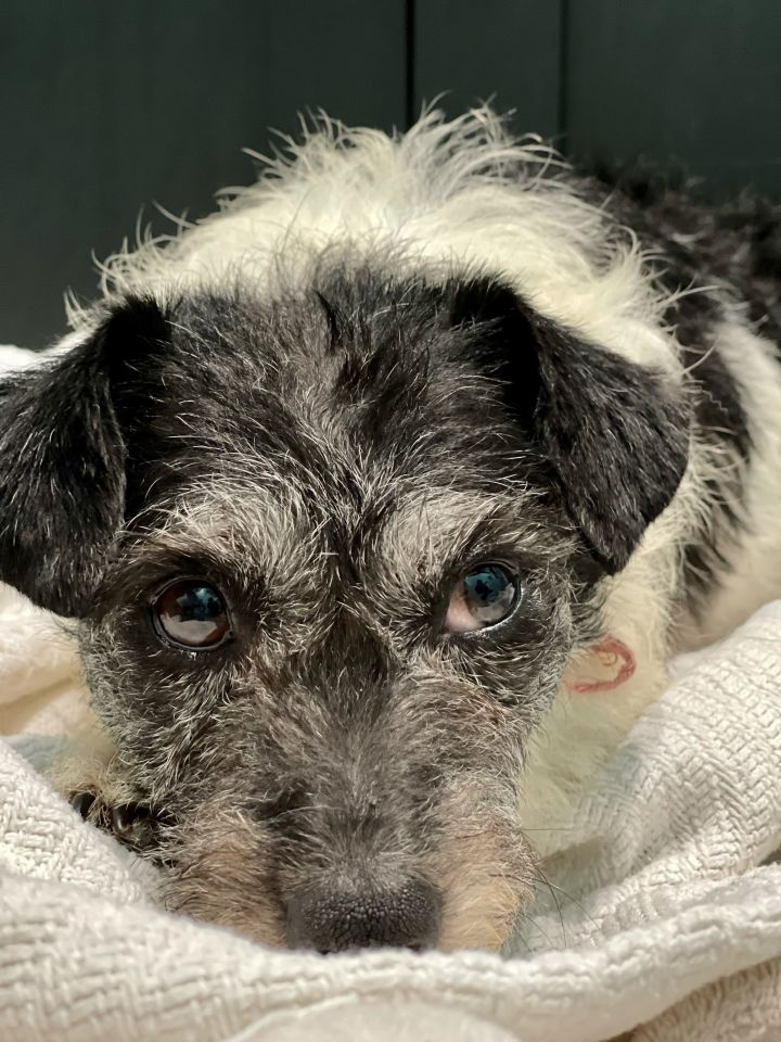 Sacramento, an adoptable Terrier Mix in Studio City, CA_image-2
