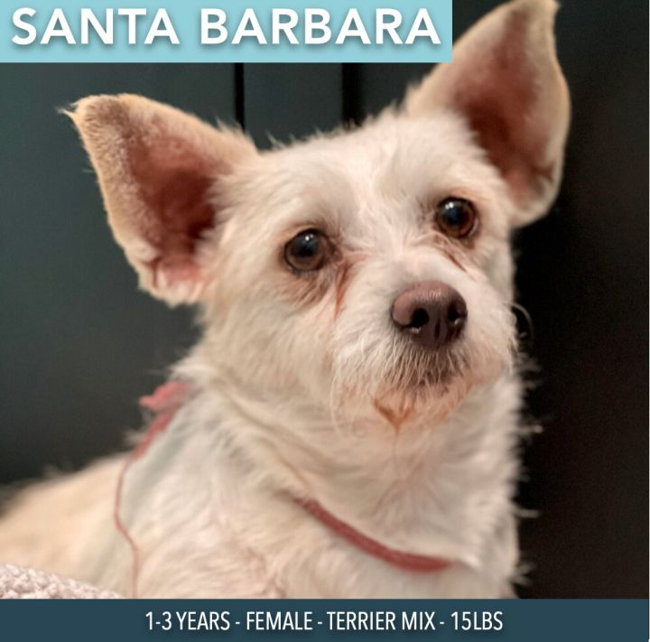 Santa Barbara, an adoptable Terrier Mix in Studio City, CA_image-1