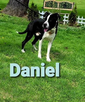 Daniel, an adoptable Pit Bull Terrier Mix in Cumberland, MD_image-1
