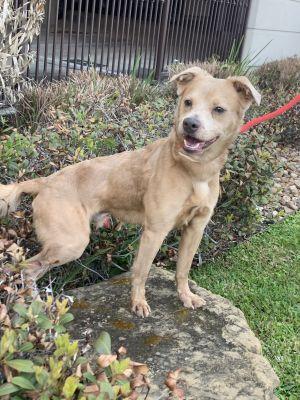 Crosby Golden Retriever Dog