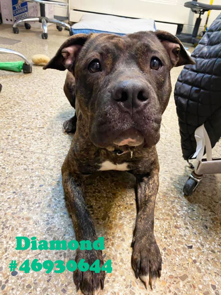 Diamond, an adoptable Pit Bull Terrier in Wilkes Barre, PA_image-2