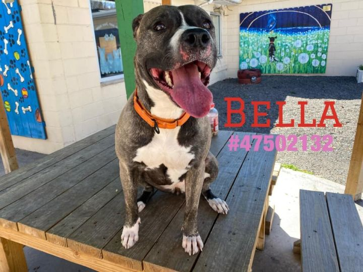 Bella, an adoptable Pit Bull Terrier Mix in Wilkes Barre, PA_image-1