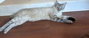 Titan Domestic Short Hair Cat