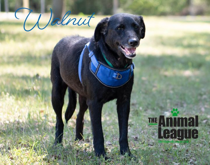 Walnut, an adopted Labrador Retriever Mix in Clermont, FL_image-1