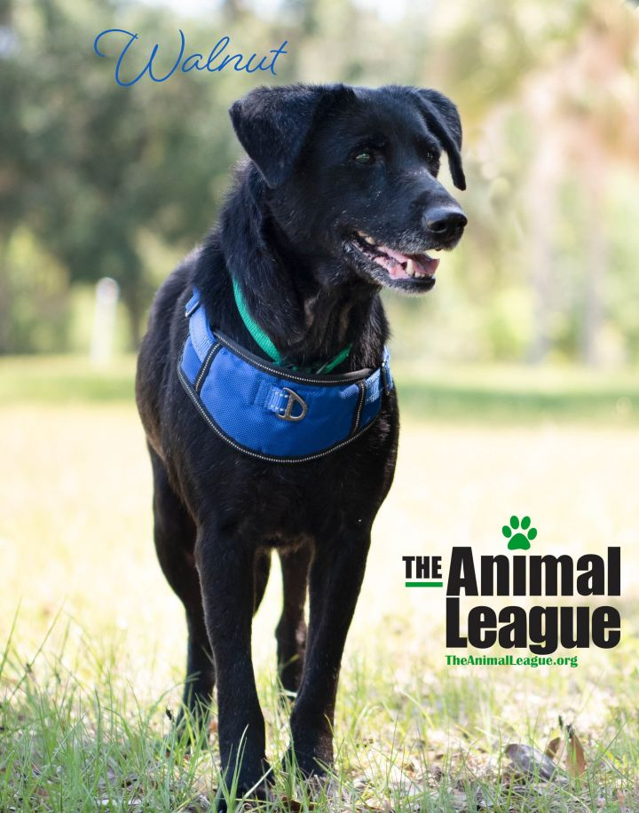 Walnut, an adopted Labrador Retriever Mix in Clermont, FL_image-2