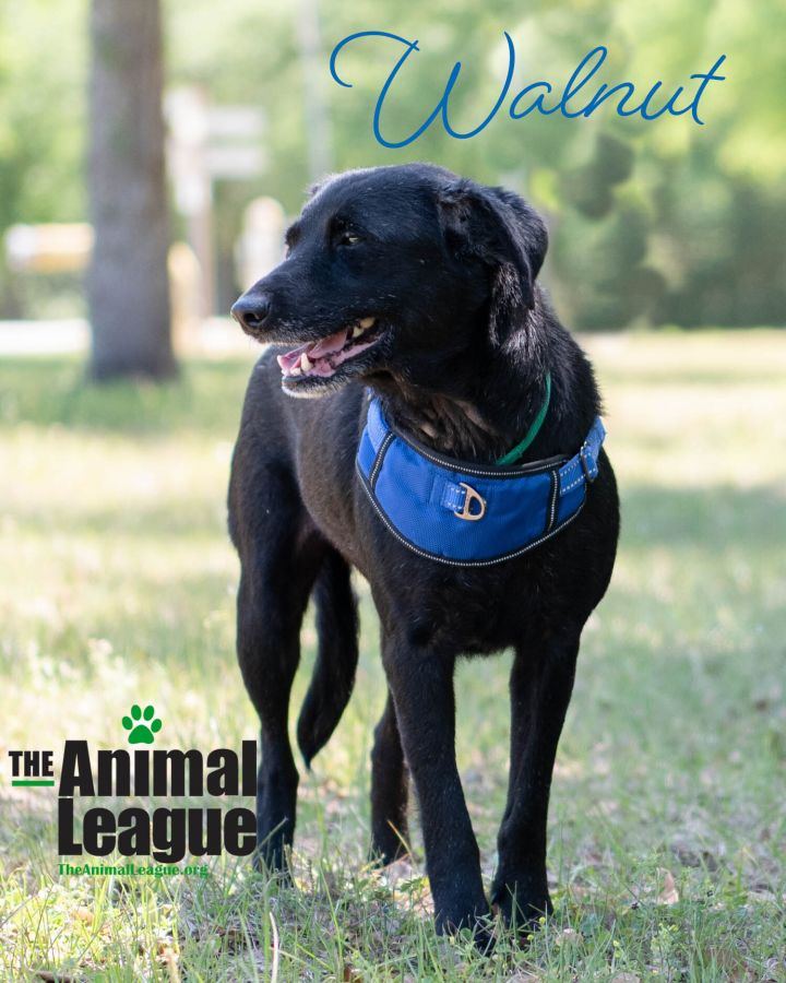 Walnut, an adopted Labrador Retriever Mix in Clermont, FL_image-3
