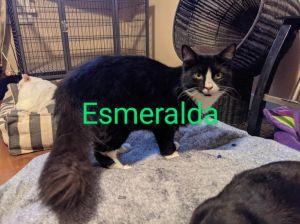 Esmeralda (Esme) Domestic Long Hair Cat