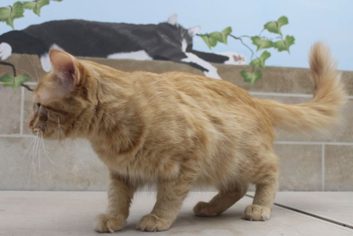 Rusty, an adoptable Domestic Long Hair in Neillsville, WI_image-2