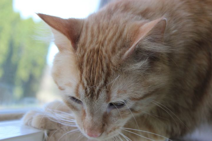 Rusty, an adoptable Domestic Long Hair in Neillsville, WI_image-3