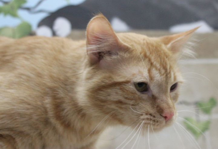 Rusty, an adoptable Domestic Long Hair in Neillsville, WI_image-4