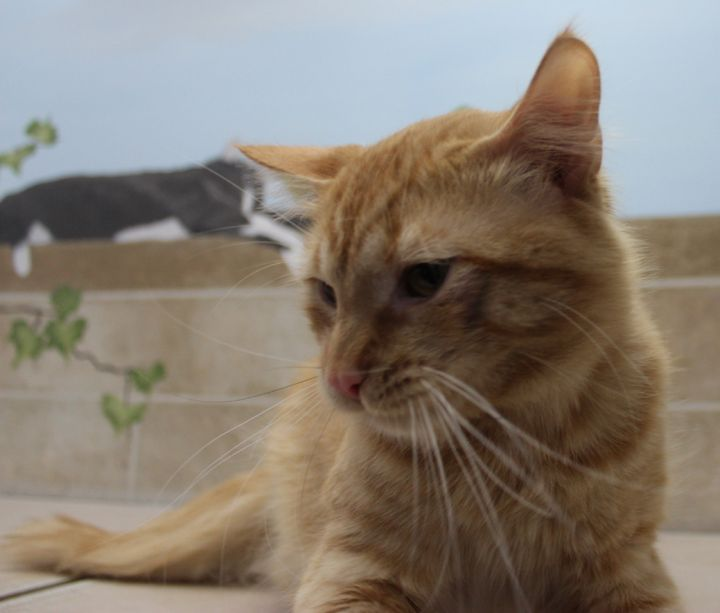 Rusty, an adoptable Domestic Long Hair in Neillsville, WI_image-5