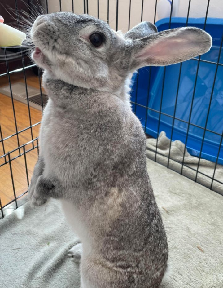 Sylvie, an adopted Chinchilla Mix in Livermore, CA_image-2