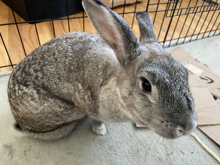 Sylvie, an adopted Chinchilla Mix in Livermore, CA_image-6