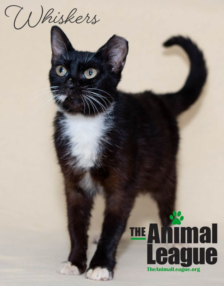 Whiskers, an adoptable Domestic Short Hair Mix in Clermont, FL_image-1