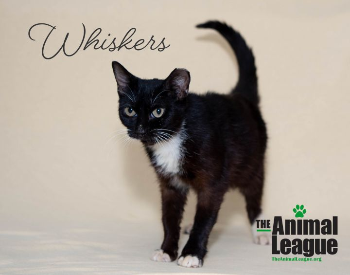 Whiskers, an adoptable Domestic Short Hair Mix in Clermont, FL_image-2